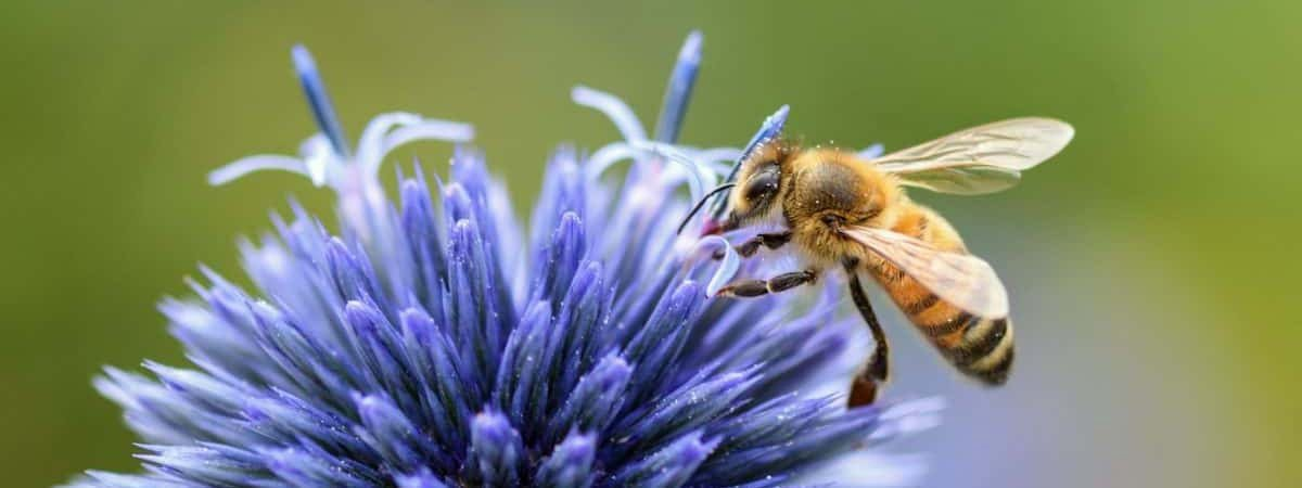 how bees collect pollen